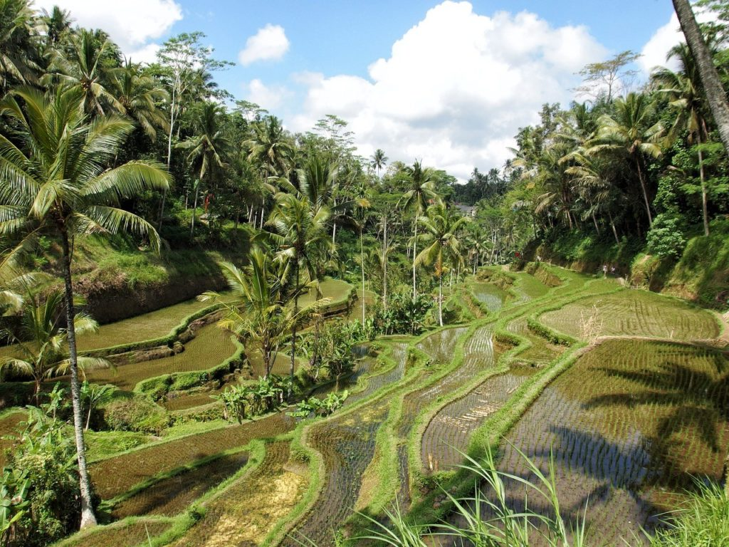 Ubud culture du riz