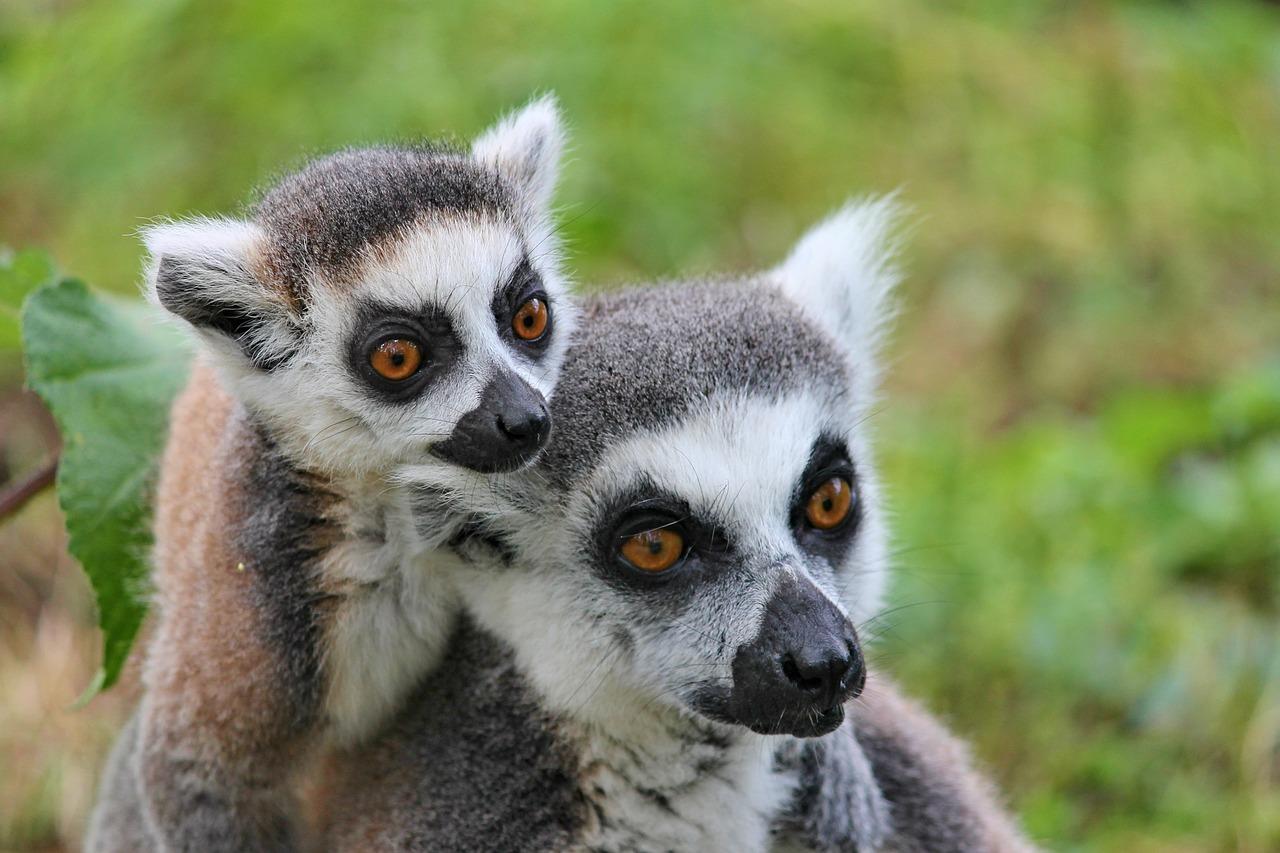 Lémuriens de Madagasacar